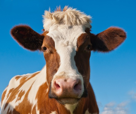 Profile of a red spotted cow head against a blue sky in the Netherlands Stock Photo