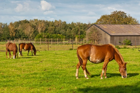 Peaceful grazing horses on a sunny Dutch meadow on the outskirts of a small village