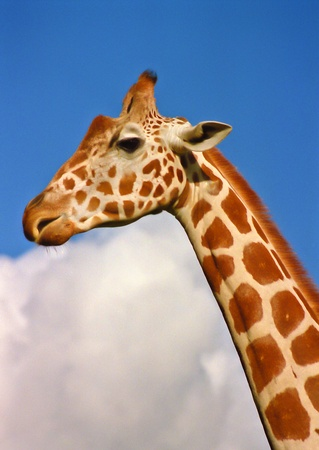 Closeup of the head and neck of a giraffe against a blue sky with white clouds photo