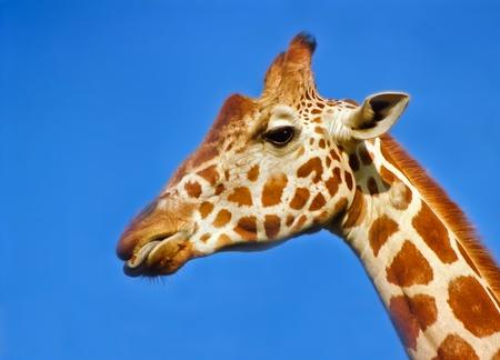 giraffa camelopardalis: Portrait of a giraffe against a blue sky