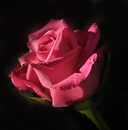 Rose against a dark background photo