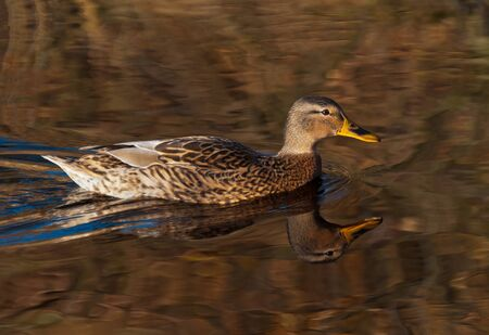 Fast swimming female mallard and her reflection in dark water photo
