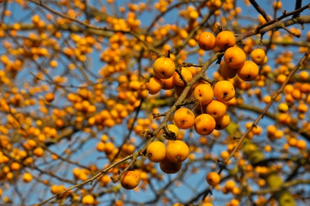 Closeup of a wild apple tree Malus Golden Hornet with branches and fruit against a blue sky
