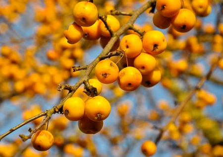 crabapple: Closeup of a crab apple tree Malus Golden Hornet with branches and fruit against a blue sky Stock Photo