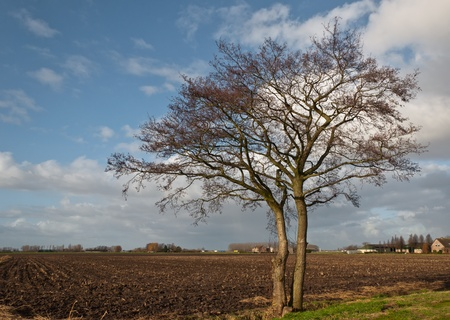 twinning: Two solitary trees at the edge of a plowed field in the Netherlands. Stock Photo