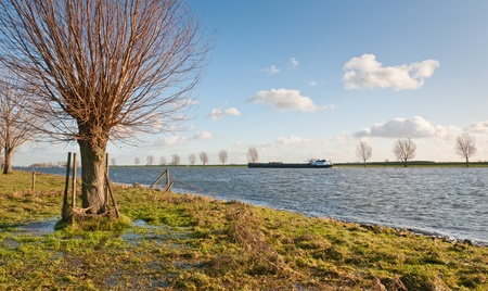 pollard willows: Pollard willows on the wet floodplains besides a river in Holland