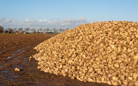 Sugar beets on a large pile on the wet and bare field  are waiting for transport to the sugar refinery. photo