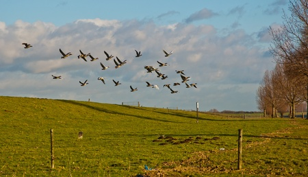 A group of geese flying away from an embankment in the Netherlands. It photo