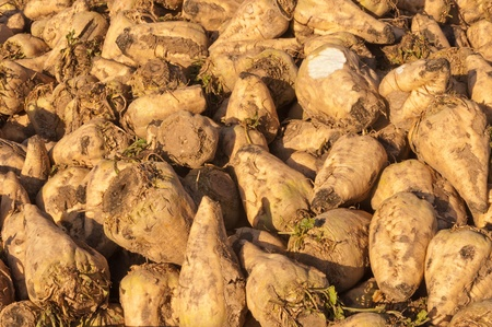 Closeup of sugar beets in the sun waiting for transport to the sugar refinery photo