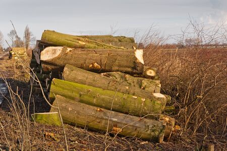 Winter landscape in the Netherlands with harvested and sawn tree trunks. photo