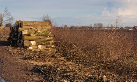 Dutch winter landscape with harvested and sawn tree trunks. photo