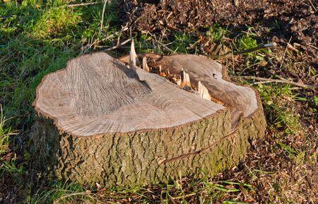 sawed: Recently sawed tree stump protrudes above the ground.