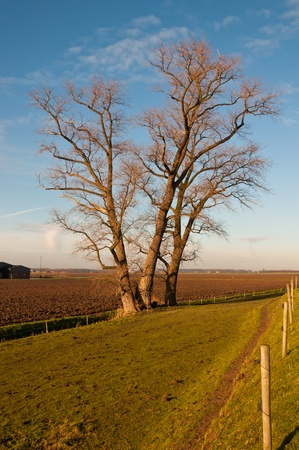 These large trees grow at the base of a dike at the Dutch village of Almkerk (North-Brabant). They are bare because winter has begun. Stock Photo - 11768432