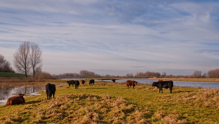 Galloway cows and bulls  in the nature reserve  photo