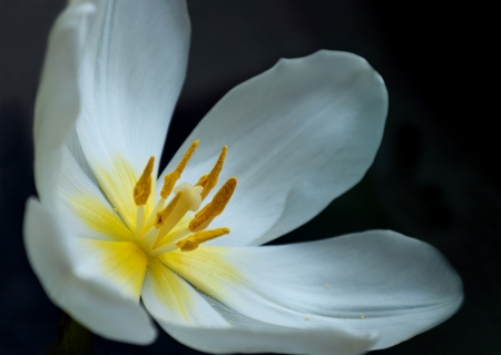 Overblown white tulip with yellow stamens and a dark background Stock Photo - 11870291