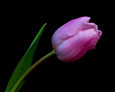 One pink flowering Dutch tulip with a leaf against a black background. Stockfoto