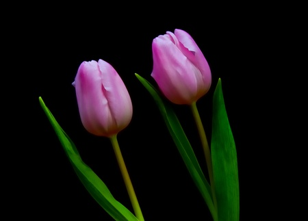 Two pink flowering Dutch tulips against an black background. photo