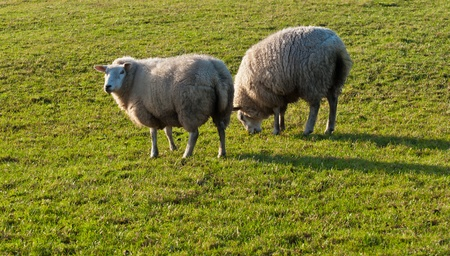 Two sheep with a thick winter coat grazing on a pasture in a low-angled winter sun as a backlight. The shadows are long. Stock Photo - 12307166