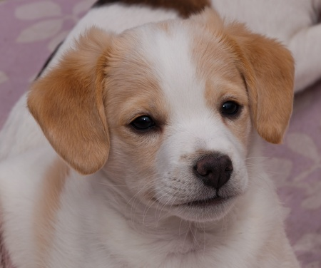 curiously: Portrait of a young curiously looking brown and white puppy.