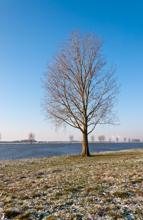 maas: Lone tree on the bank of the Dutch river Bergsche Maas. It is winter and the first snow has fallen.