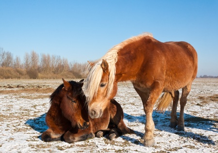Two brown horses seek support from each other. It is very cold in the Dutch National Park De Biesbosch where these animals roam freely. photo