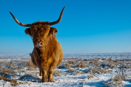 Pregnant Highland cow with long horns and a winter coat standing in the snow of the Dutch nature reserve Dintelse Gorzen (near the village of Steenbergen, North-Brabant).