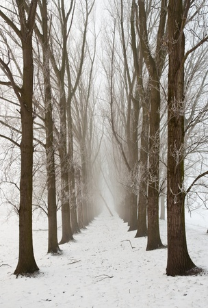 A snowy path between the trees. It is very early in the morning and it freezes very much in the Netherlands. The morning mist still hangs over the landscape. The view is limited and less colorful. photo