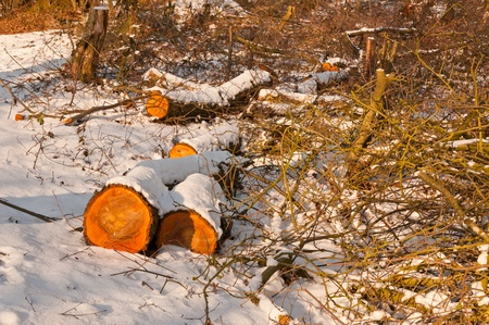 sawed: Closeup of a snowy forest with sawed trees in the sunlight. Stock Photo