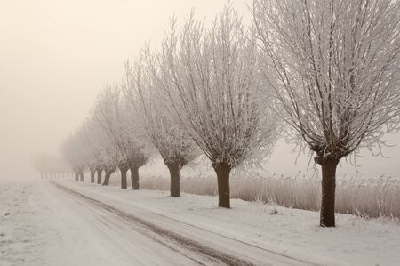 Row of pollard willows. It is very early in the morning and it freezes very much in the Netherlands. The morning mist still hangs over the landscape. The view is limited and less colorful. photo
