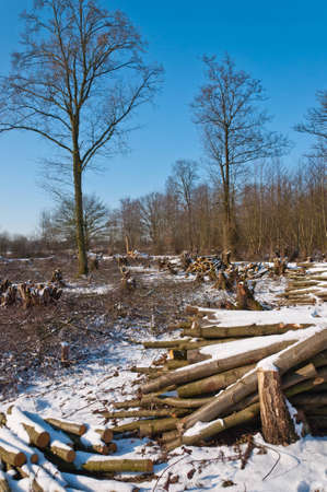 Many of the trees in this nature reserve were cut In the context of maintenance  It is winter and the snowy landscape makes a desolate impression  photo