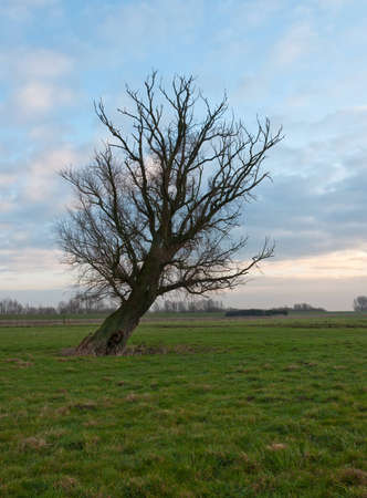 Crooked bare tree in the Dutch National Park De Biesbosch, North-Brabant  photo