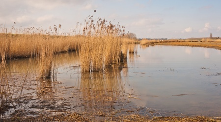 Rushes waving in the wind in a marshy part of the National Park De Biesbosch in the Netherlands  photo