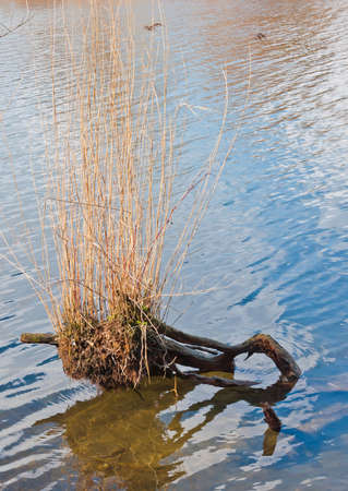 Closeup of reed growing on a willow stump in the Dutch National Park De Biesbosch  photo