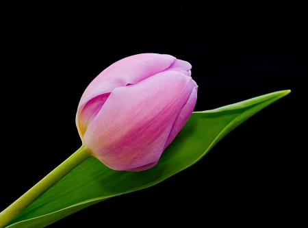 A real Dutch tulip from Amsterdam against a black background. Stock Photo