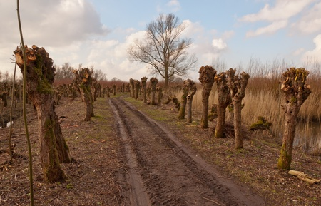 Dutch National Park De Biesbosch with a row of old pollarded willows. In the foreground some planted willow shoots. photo