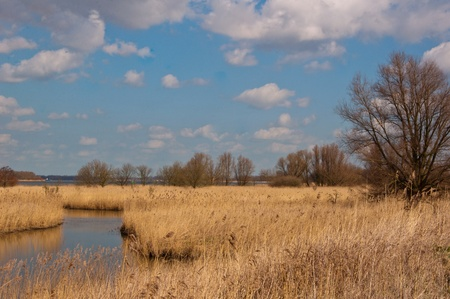 Yellow reeds along a small creek  in a Dutch nature reserve  photo