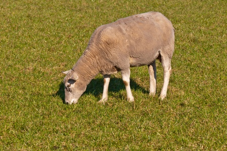 One sheep grazing in the meadow  It is springtime now  photo