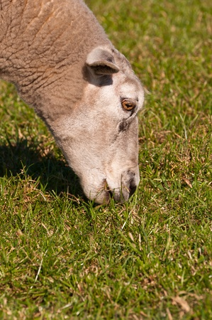 Closeup of an eating sheep in grassland  It is springtime now and the sheep are for the first time outside in the meadow after the winter  Stock Photo - 12978071