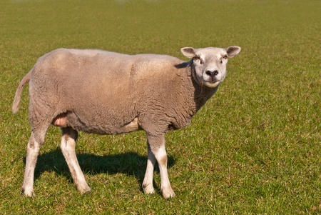 Sheep standing on grass is looking with a straw in its mouth  Stock Photo - 12978073
