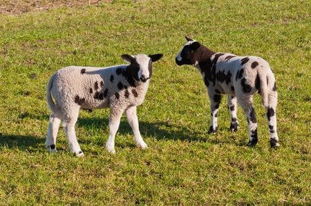 Two brown spotted little lambs standing in a meadow  photo