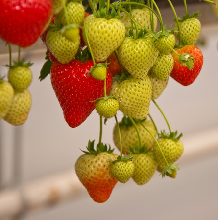 back strain: In a greenhouse the cultivation of hanging strawberry plants is favorable to the back strain of the pickers.