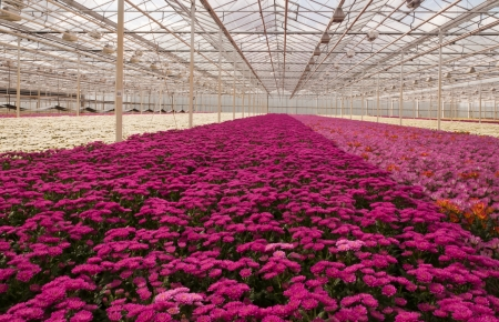A Dutch greenhouse with chrysanthemums in many colors ready for harvest