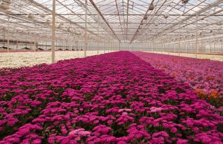 Eine niederländische Gewächshaus mit Chrysanthemen in verschiedenen Farben zur Ernte bereit