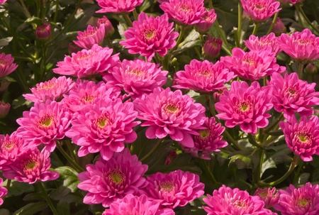 Chrysanthemums in a Dutch greenhouse ready for harvesting Stock Photo - 13012839