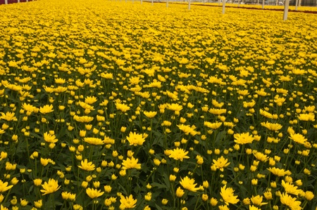 A Dutch greenhouse with yellow colored chrysanthemums ready for harvest  Stock Photo