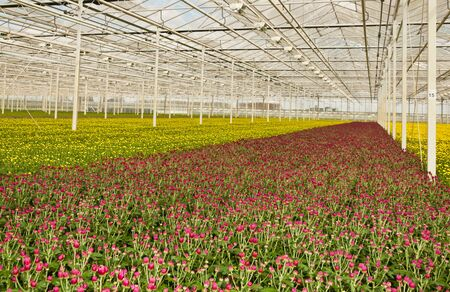 A Dutch greenhouse with chrysanthemums budding in many colors