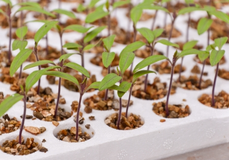 greenhouse and ecology: Small tomato plants from seed are grown in the Dutch plant nursery   Stock Photo