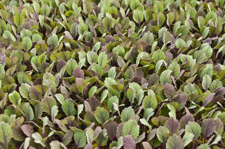 Small red cabbage plants in a greenhouse of a Dutch plant nursery Stock Photo - 13012853