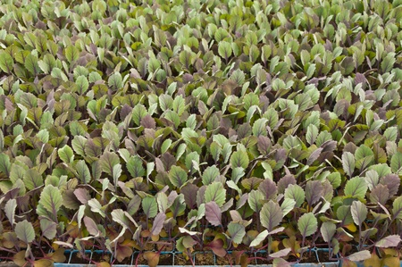 Small red cabbage plants in a greenhouse of a Dutch plant nursery Stock Photo - 13012855