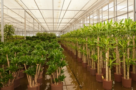 houseplants: Houseplants in the greenhouse of a Dutch hydroculture plant nursery.
